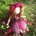 Fuchsia Fairy
